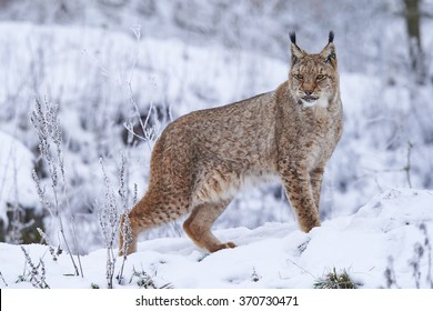 A eurasian lynx in winter