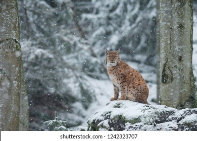 Eurasian lynx in the winter forest, Lynx lynx, natural habitat, Bavarian forest, Europe
