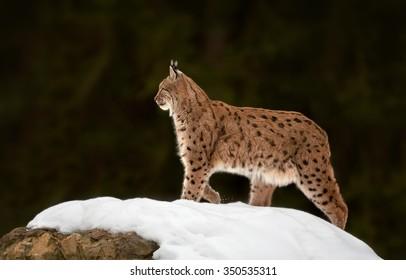 Eurasian Lynx Lynx lynx in winter posing on snowy rock. Dark green blurry background.