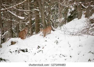 "Eurasian lynx in the winterly national park ""Bayerischer Wald"""