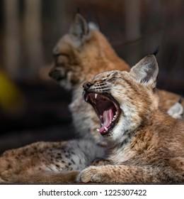 Eurasian lynx yawning