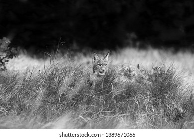 The Eurasian lynx (Lynx lynx) a young cat in  grass with forest background. Black and white lynx.