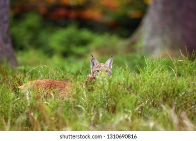 The Eurasian lynx (Lynx lynx) a young cat hides in the grass and peeks over her, autumn forest background. Young lynx playing in high grass.