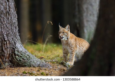 The Eurasian lynx (Lynx lynx), a young lynx in forest.