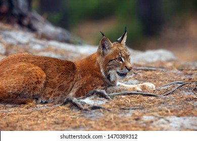 The Eurasian lynx (Lynx lynx), a young lynx in forest.Young cat lying on pine needles in coniferous forest.