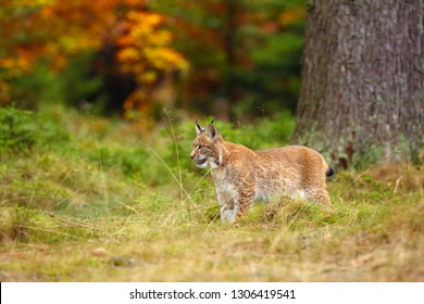 The Eurasian lynx (Lynx lynx) a young lynx in green plants, autumn forest background.