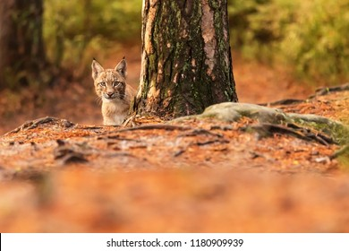 Eurasian lynx (Lynx lynx), a young man next to a tree in a pine forest