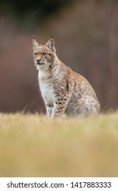 The Eurasian lynx (Lynx lynx) a young lynx on a meadow. Autumn scene with big european cat. Portrait of a relaxed animal.