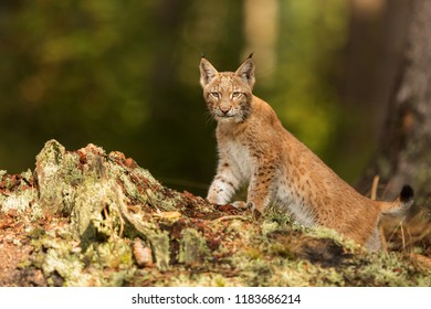 Eurasian lynx (Lynx lynx), the young  peeks out of the forest