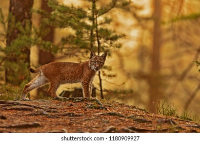 Eurasian lynx (Lynx lynx), young in the woods with a strong backlight of the rising sun
