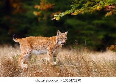 The Eurasian lynx (Lynx lynx) a young lynx in yellow grass, autumn forest background. Small cute cat on the meadow.