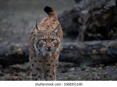 Eurasian lynx (Lynx lynx) in Zoo