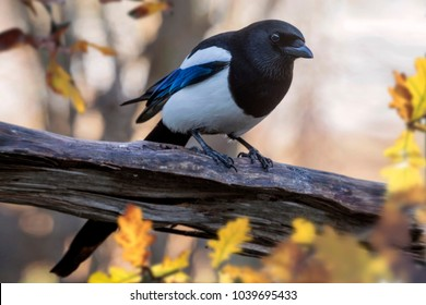 Eurasian magpie or common magpie (Pica pica)