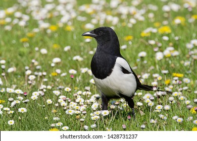 The Eurasian magpie or common magpie (Pica pica) is a resident breeding bird throughout the northern part of the Eurasian continent. It is one of several birds in the crow family designated magpies.