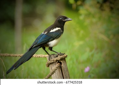 The Eurasian magpie or common magpie (Pica pica) is a resident breeding bird throughout Europe, much of Asia and northwest Africa.