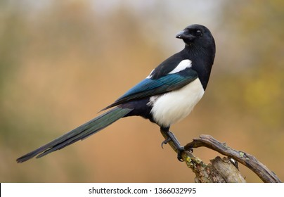 The Eurasian Magpie or Common Magpie or Pica pica is sitting on the branch with colorful background