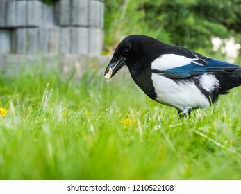 Eurasian magpie in fresh green grass on a field with shallow bokeh