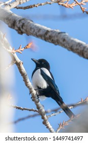 Eurasian magpie on a branch, Common magpie (Pica pica)