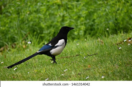 The Eurasian Magpie on green grass in the park. The Eurasian Magpie or common magpie (Pica pica) is one of several birds in the crow family, Corvidae.