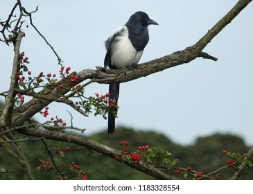 A eurasian magpie perched on the branch of a hawthorn tree with bright red autumn berries against a blue sky in woodland