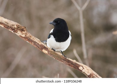 Eurasian magpie (pica pica) flew to the clearing in search of food.
