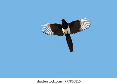Eurasian Magpie or Magpie, Pica pica, in flight against clear blue sky.