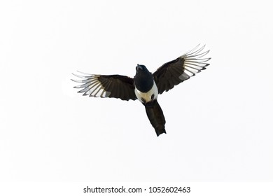 Eurasian Magpie or Magpie, Pica pica, in strong, upward flight cutout against white background.