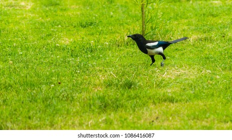 Eurasian magpie walking around on a meadow