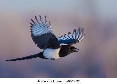 Eurasian Magpie/in flight