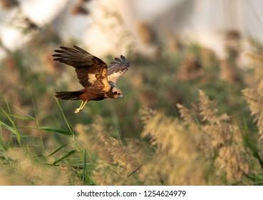 Eurasian Marsh harrier flyinf at Asker marsh, Bahrain