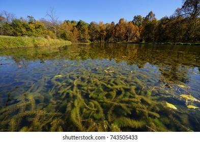 Eurasian milfoil (Myriophyllum spicatum) clogging a small spring fed lake.