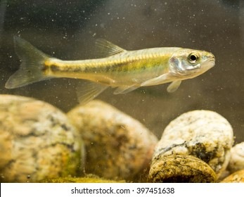 Eurasian minnow (Phoxinus phoxinus) is a Small Fish in the Carp Family living in fast flowing rivers in Eurasia