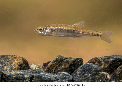 Eurasian minnow (Phoxinus phoxinus) is a small species of freshwater fish in the carp family Cyprinidae. Swimming in river with rocky bottom.