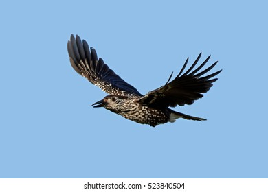 Eurasian nutcracker (Nucifraga caryocatactes) in flight with blue skies in the background