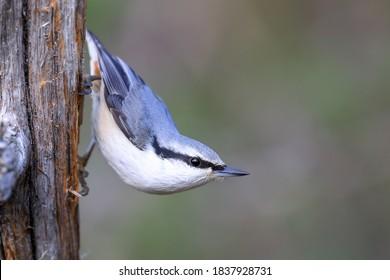 Eurasian Nuthatch is blue-backed little bird