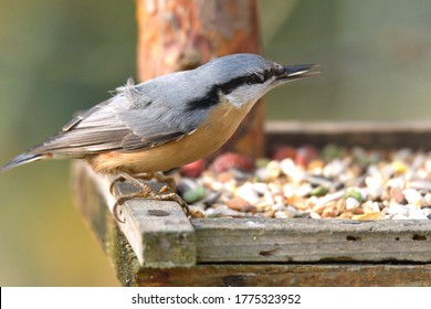 Eurasian Nuthatch close up as it has sunflower in its beak