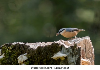 Eurasian nuthatch in forest