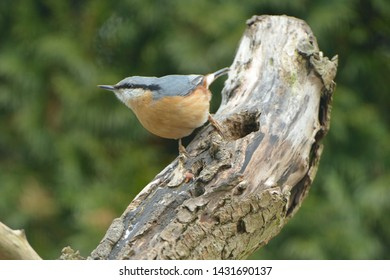 Eurasian nuthatch looking for food