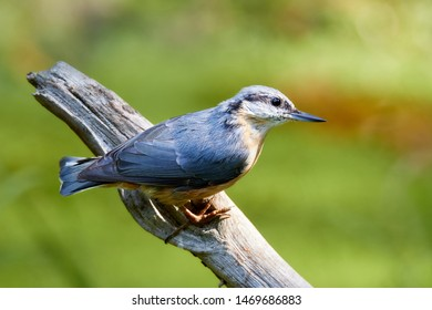 Eurasian nuthatch on a branch in forrest