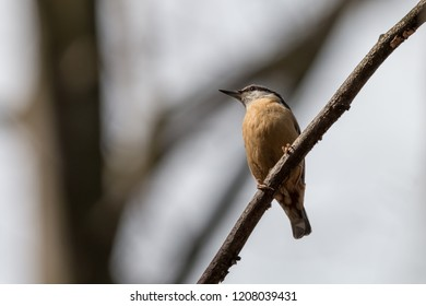 Eurasian nuthatch perching on branch with blurred tree in background. Wood nuthatch (Sitta europaea) is orange colored small passerine bird with black eye stripe and grey upper part.