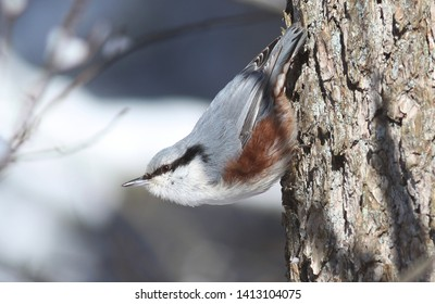 Eurasian nuthatch poses in winter forest