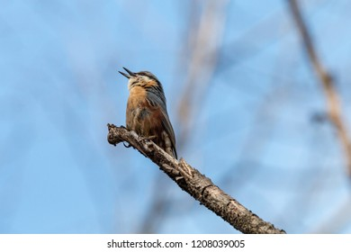 Eurasian nuthatch singing with open beak on tree branch against blue sky. Wood nuthatch (Sitta europaea) is orange colored small passerine bird with black eyestripe and grey upperpart.