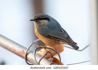 Eurasian nuthatch (Sitta europaea) in front of winter background.