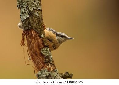Eurasian nuthatch, Sitta europaea, is hide behind small tree
