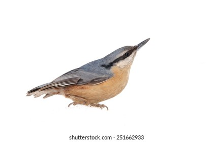 Eurasian Nuthatch (Sitta europaea) isolated on white