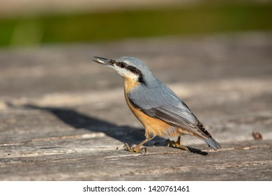Eurasian nuthatch (Sitta europaea) in the nature protection area Moenchbruch near Frankfurt, Germany.