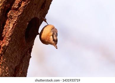 Eurasian nuthatch (Sitta europaea) at nesting cavity