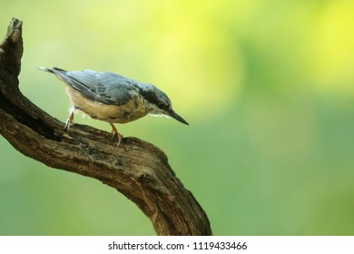 Eurasian nuthatch, Sitta europaea, with nice lght background