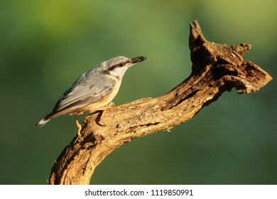 Eurasian nuthatch, Sitta europaea, on the old dry branch