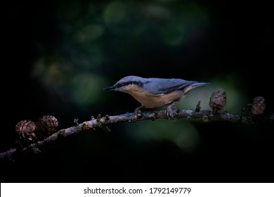 Eurasian Nuthatch (Sitta europaea) on a branch in the forest of Noord Brabant in the Netherlands. Isolated on a dark black background